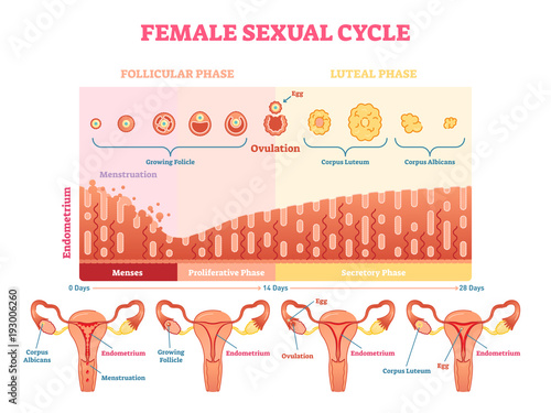 Fotografia Female sexual cycle vector illustration graphic diagram with menstruation and ovulation chart and uterus