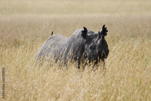 Black Rhino in the Masai Mara
