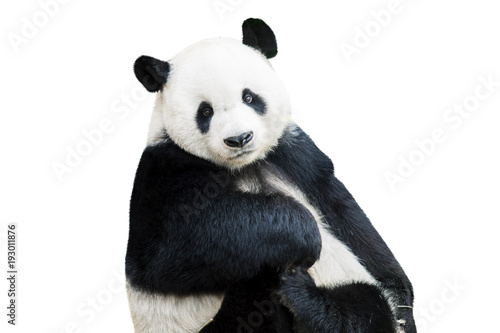 La pose en embrasure Panda Adorable panda facing camera