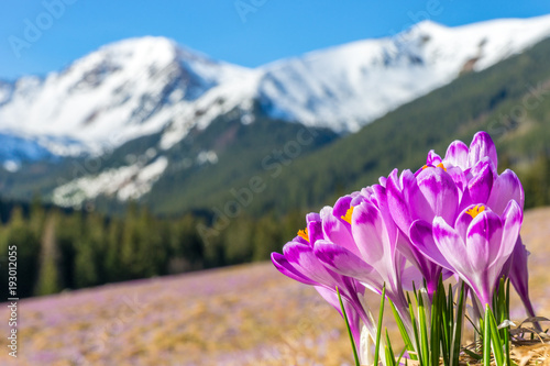 Obraz Crocus flowers. Tatra mountains. Mountain landscape - fototapety do salonu