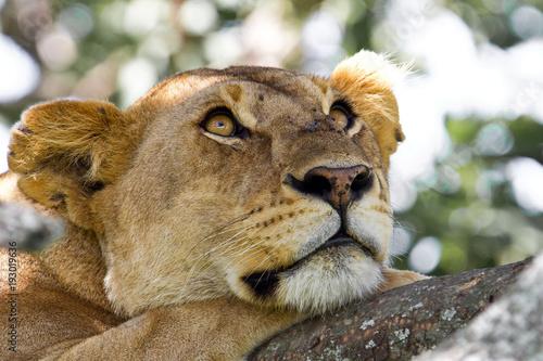 Fotobehang Leeuw Lioness resting in a tree in Serengeti National Park in Tanzania