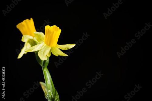 Deurstickers Narcis Daffodil or narcissus flowers on a black background.