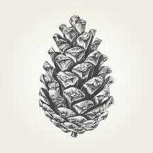 Hand Drawn Pine Cone. Vintage Vector Illustration