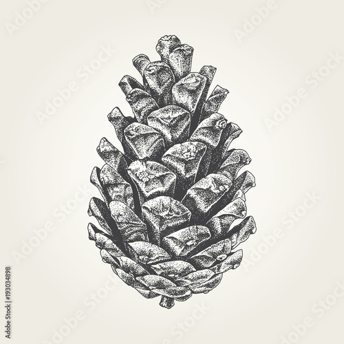 Fotografie, Obraz  Hand drawn pine cone. Vintage vector illustration