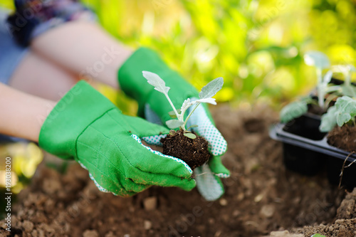 Foto op Canvas Tuin Woman planting seedlings in bed in the garden at summer sunny day