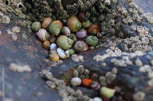 bigorneaux multicolores