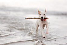 A Terrier Running With A Stick...