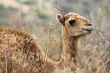 Fototapeta Sawanna - głowa wielbłąda stojącego wśrod pożółkłych traw
