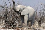 Fototapeta Animals - afrykański słoń w naturalnym środowisku z trąbą podniesioną do góry stojący wśród nagich konarów drzew