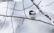 Black-capped Chickadee Eating ...