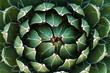 Leinwanddruck Bild - Beautiful close-up of a flowering Green Victoria Agave Cactus.
