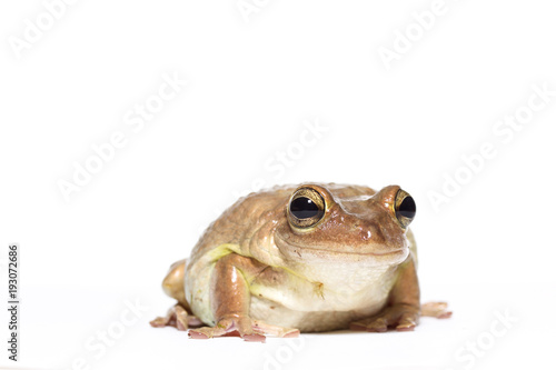 Tuinposter Kikker Female Cuban tree frog on white, side glance