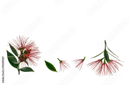 Fotografía pohutukawa tree flowers isolated on white background with copy space