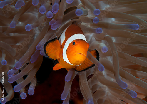 Leinwand Poster Ocellaris clownfish ( Aphiprion ocellaris ) or false clown anemonefish shelters