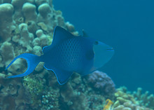 Red-toothed Triggerfish ( Odon...