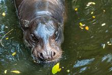 Pygmy Hippo, Small Hippopotamus