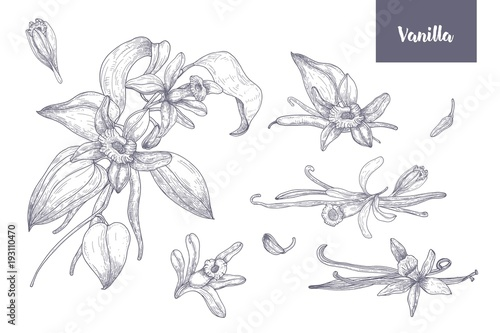 Fotografía  Bundle of natural drawings of vanilla plants with fruits or pods, blooming flowers and leaves isolated on white background