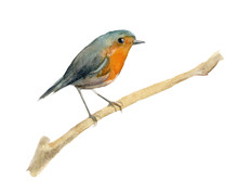 Watercolor Bird Robin. Element For The Design Of Posters, Wedding Invitations, Christmas Compositions. Isolated Background.
