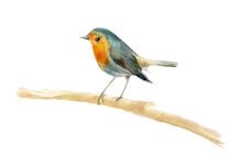 Watercolor Bird Robin. Element...