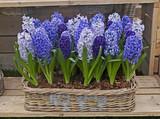 A display of Hyacinthus orientalist  in a garden basket