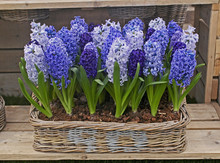 A Display Of Hyacinthus Orient...