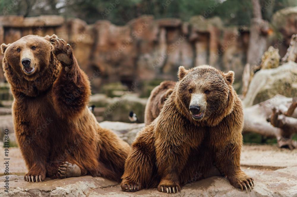 Fototapeta Two brown bears play in the zoo