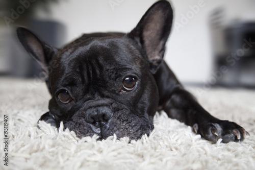 Deurstickers Franse bulldog Французский бульдог