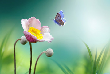 Obraz Beautiful pink flower anemones fresh spring morning on nature and fluttering butterfly on soft green background, macro. Spring template, elegant amazing artistic image, free space.