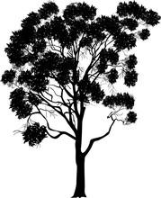 Large Eucalyptus Isolated On White