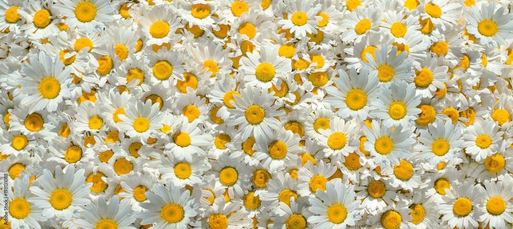 Fototapety, obrazy: Flowers background. Chamomile flowers.