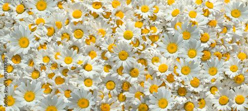 Obraz Kwiaty rumianku - fototapety do salonu