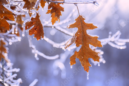 Dry red oak leaves covered with ice in winter. Melting ice, sparkling drops, a beautiful view of winter nature.