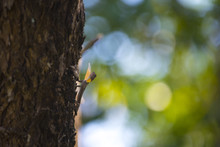 Flying Dragon, Flying Lizard On The Tree At Khao Yai National Park, Thailand