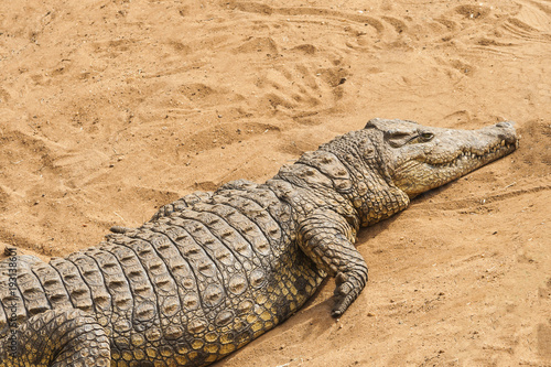 Photo  Wild animal crocodile