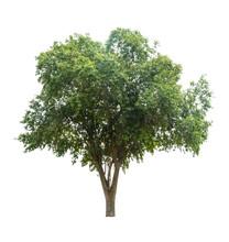 Tree Isolate On White Background