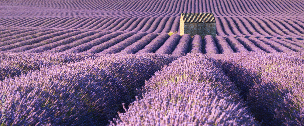 Fototapety, obrazy: Panoramic view of lavender fields in Valensole with stone house in Summer. Alpes de Haute Provence, PACA Region, France