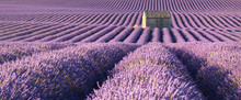 Panoramic View Of Lavender Fields In Valensole With Stone House In Summer. Alpes De Haute Provence, PACA Region, France