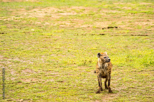 Fotografía Hyena isolate in the savannah plain of Amboseli Park in Kenya