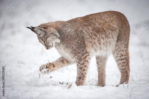 Foto auf Leinwand Luchs Lynx playing in Snow