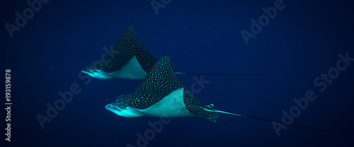 Fotobehang Onder water Spotted eagle ray