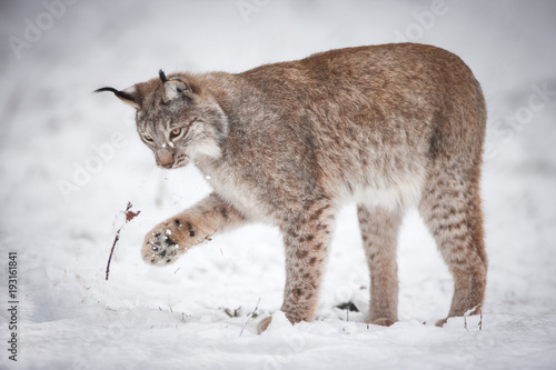 Wall Murals Lynx Lynx playing in Snow
