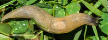 Macro Of Small Garden Pest Slug Eating Green Grass Leaves