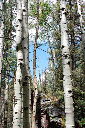 Tuinposter Berkbosje Aspen grove in Colorado mountians