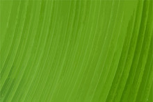 Abstract Of Green Leaf Texture...