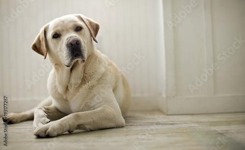Portrait of dog lying on floor.