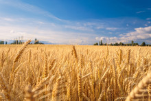 Farmland. Golden Wheat Field U...