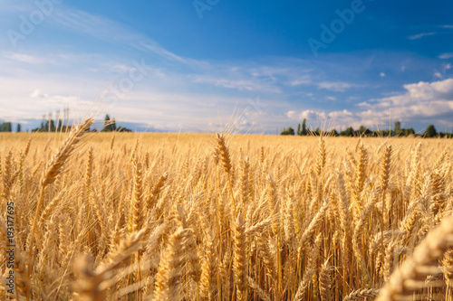 Photo Stands Culture Farmland. Golden wheat field under blue sky.