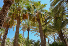 High Figs Date Palm Trees In M...