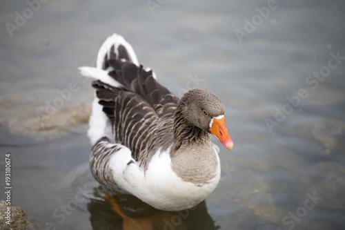 Keuken foto achterwand Uil Duck Bird