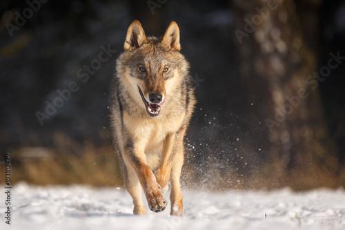 Платно  Wolf im Schnee